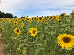 sunflowers (10)
