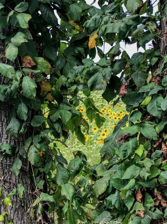 sunflowers (11)
