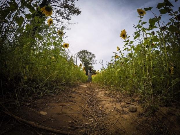 sunflowers (13)