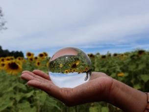 sunflowers (3)
