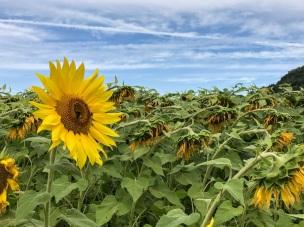 sunflowers (6)