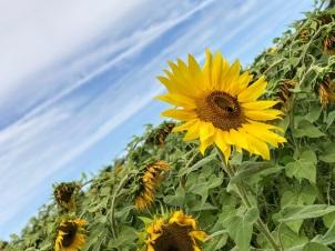 sunflowers (7)