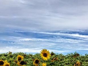 sunflowers (8)