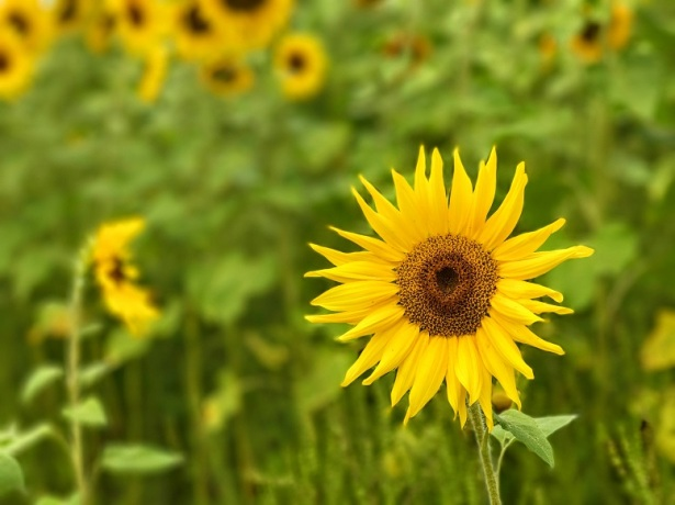 sunflowers (9)